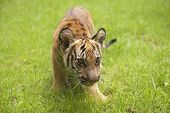 foto of cute tiger  - Baby Indochinese tiger plays on the grass - JPG