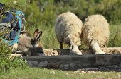 stock photo of sheep  - Donkey and sheep quenching thirst at the watering hole. Spent with his flock of sheep grazing. Quenching thirst at the watering hole.