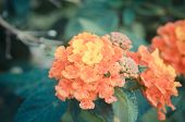 picture of lantana  - Cloth of gold or Lantana camara flower vintage - JPG