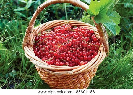 Basket Full Of Ripe Red Currant Stands In The Garden On The Grass