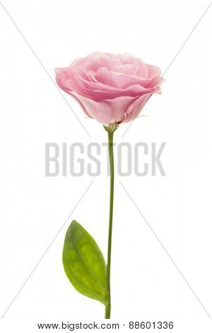 Fresh pink rose flower isolated on white background