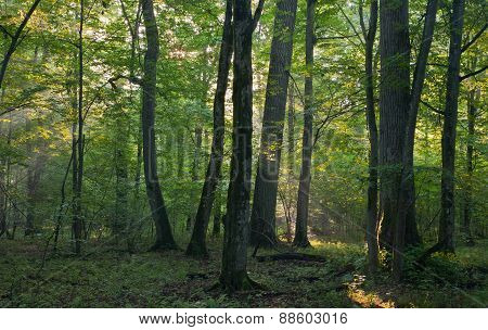 Sunrise Light Entering Old Deciduous Stand
