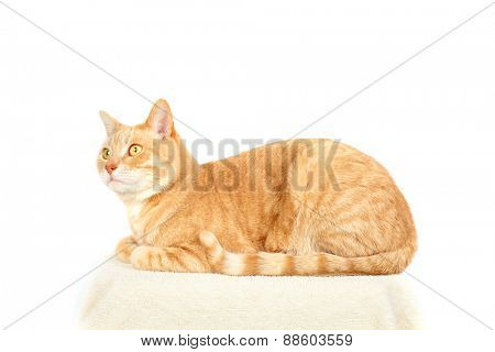 Red domestic cat isolated on white background.