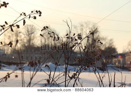 winter burdock on snow