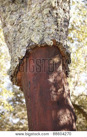 Cork Oak Tree Bark Harvest Detail In Spain