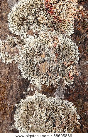 Lichen Detail In A Rock Background In Warm Tone