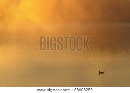Goose on Fog Covered Lake at Sunrise