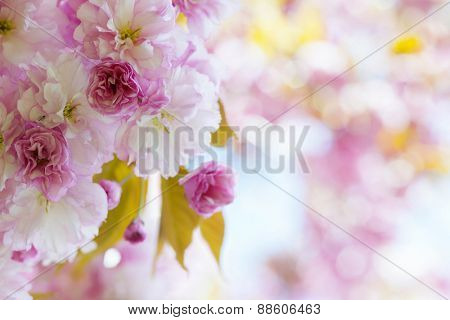Pink cherry blossom flowers on flowering tree branch blooming in spring orchard with copy space