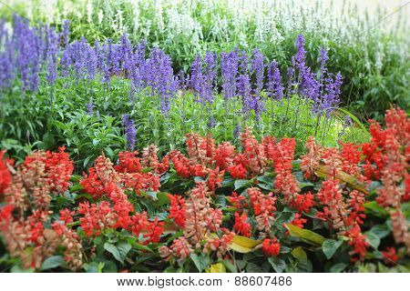 Purple Salvia Flowers - Red Flower Wth The Nature