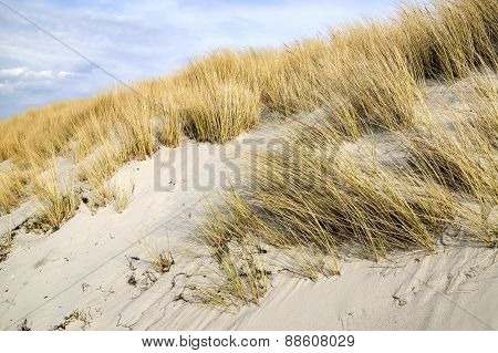Golden Dune Grass On The Baltic Sea