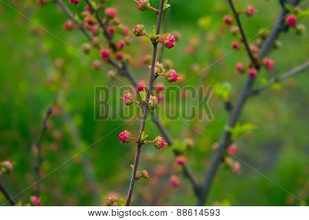Branch With Little Pink Flowers, Flowers In The Garden At Springtime