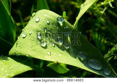 Drops On The Leaf, Drops On The Leaf Of Tulip