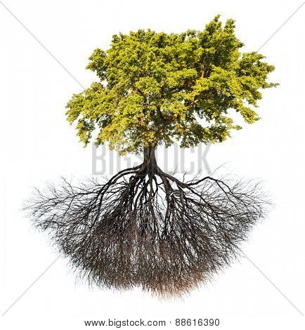 green oak tree isolated on white background
