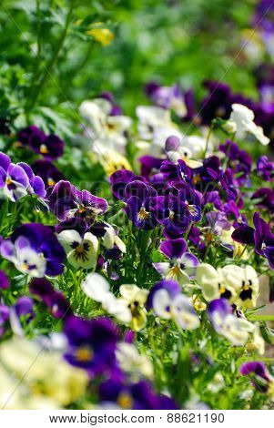 Field Of Colorful Pansies