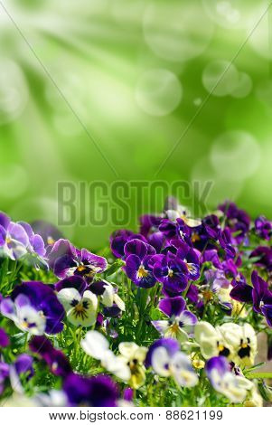 Field Of Colorful Pansies With Green Background