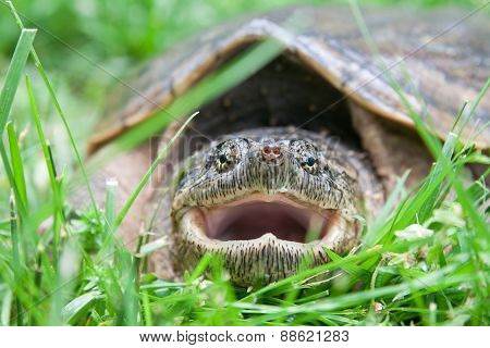 Close Up Of A Snapping Turtle Mouth