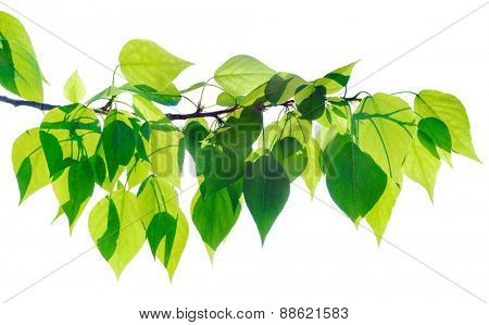 Green poplar twig isolated on white
