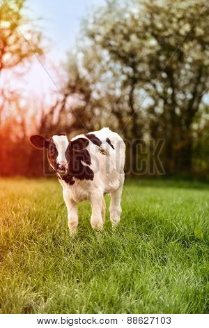Young dairy calf grazing in lush spring meadow with sun flare effect