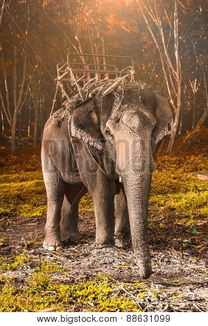 Elephant stands in the middle of the forest in the jungle. Krabi province, Thailand