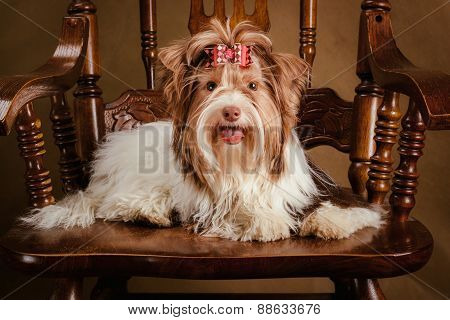 biewer yorkshire terrier puppy on a chair