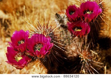 Flowering Hedge Hog Cactus
