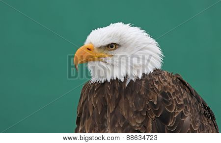 Bald Eagle on Green