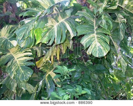 Philodendron Draping A Tree