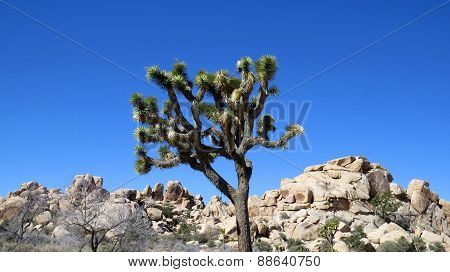 Joshua Tree And Rocks Against Blue Sky