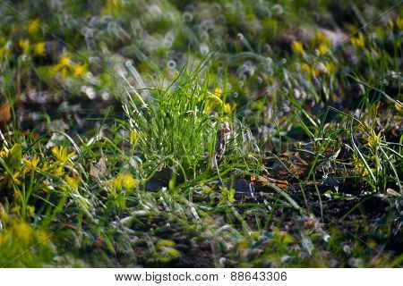 Yellow Flowers In Green Summer Grass Meadow Close-up With Bright Sunlight. Sunny Spring Background