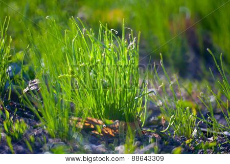 Green Summer Grass Meadow Close-up With Bright Sunlight. Sunny Spring Background