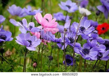 Colorful Anemones