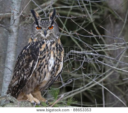 Eurasian Eagle Owl in a Tree