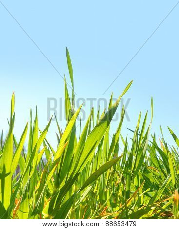 Natural background with young wheat seedlings growing in a soil.