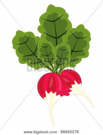 Vegetable Radish