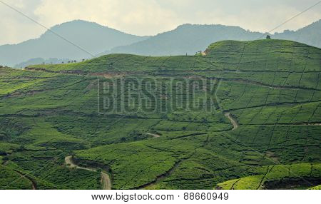 Hills Of Tea Plantation In Puncak, Bandung Indonesia In Slight Blur For Background Purposes.