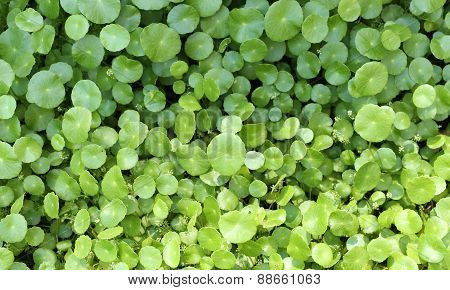 Green Dewy Leaf Background