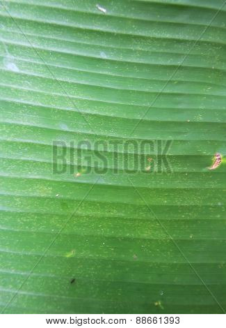 Green Banana Leaf Background Abstract