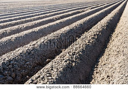 Converging Potato Ridges Of Clay In Early Sunlight