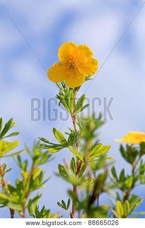 Yellow Flower Of Dasiphora Fructicosa