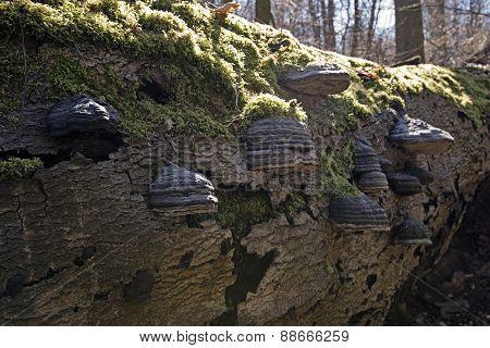 Closeup Tinder Fungus