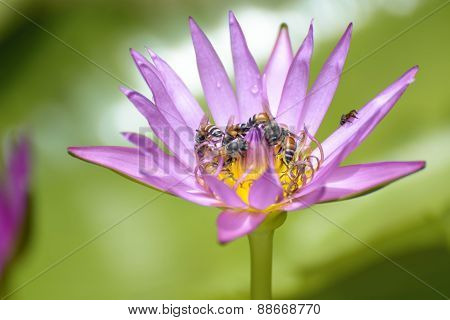 Lotus with bees