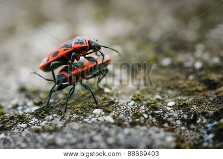 Firebugs - Pyrrhocoris Apterus On Rocky Background
