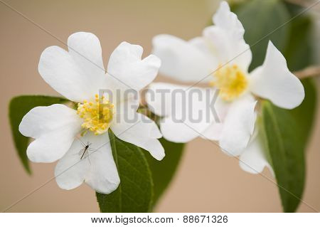 Yellow And White Dogwood Flowers
