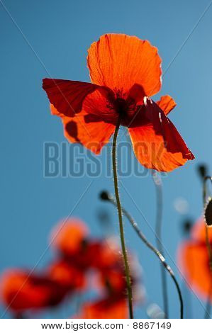 Red Poppies In The Grain Fields