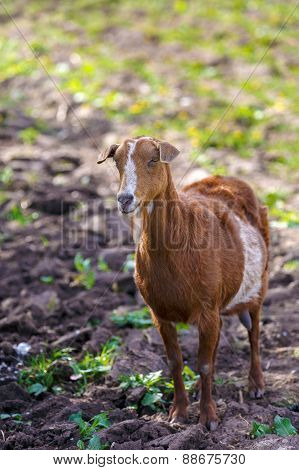 Brown Goat Grazing Alone At The Farm Yard
