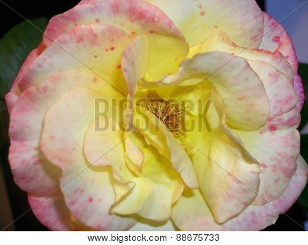 Yellow-red rose flower