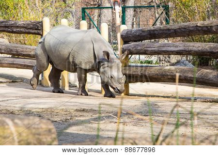 Profile view of a white rhinoceros