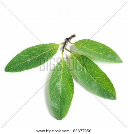 Custard Apple Leaves On White Background
