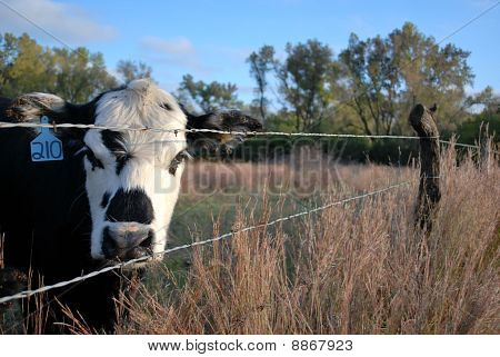 Black Baldy by the Fence
