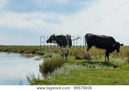 Two Dairy Cows Standing Near Water